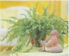 Домашнее растение Нефролепис возвышенный