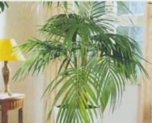 Домашнее растение Ховея Форстера