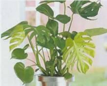Домашнее растение Монстера привлекательная