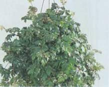 Домашнее растение Циссус