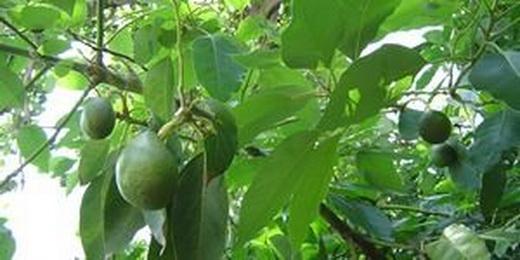 Выращивание авокадо на дачном участке