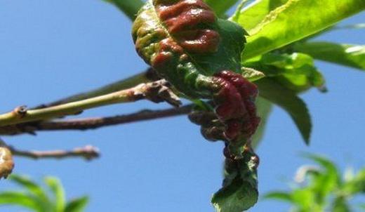 Болезнь абрикоса курчавость листьев