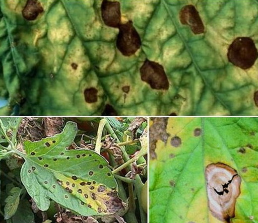 Черная пятнистость на листьях баклажана