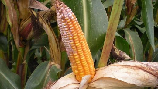 Красная гниль на кукурузе