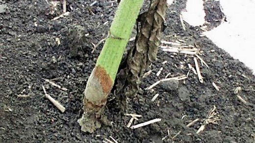 Стеблевые гнили на кукурузе
