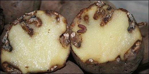 Гусеницы картофельной моли