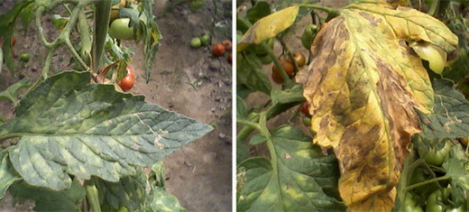 Бурая пятнистость помидоров