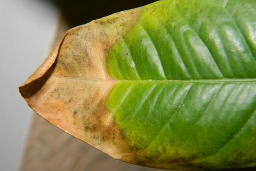 Болезни листьев лимона в домашних условиях
