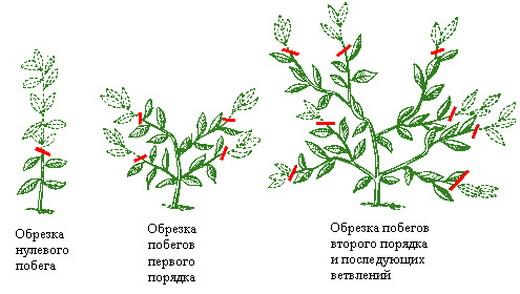 Стандартное формирование растения дыни