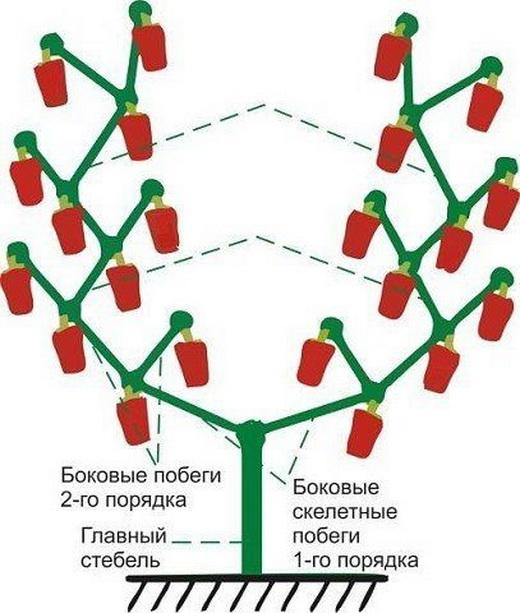 Формирование болгарского перца для ухода