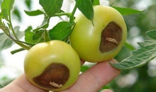 Серая гниль помидоров