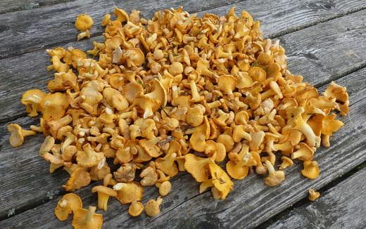 Собранные грибы лисички