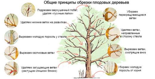 Основы обрезки любого дерева