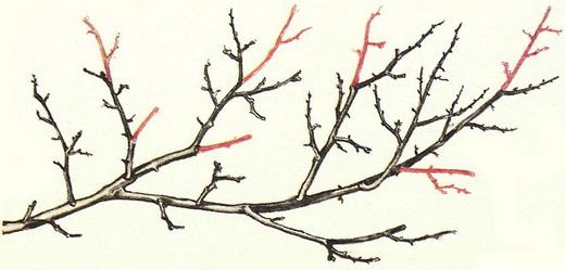 Обрезка саженцев во время плодоношения