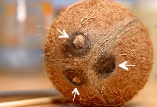 Отверстия на кокосе