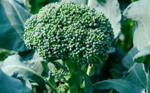 Условия выращивания капусты брокколи