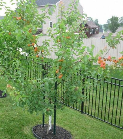 Как вырастить абрикос на участке