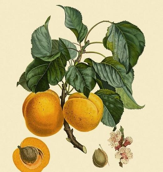Процесс выращивания абрикоса из косточки