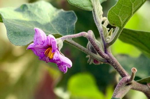 Цветение баклажана в открытом грунте