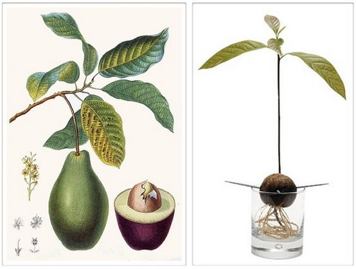 Посадка авокадо из косточки