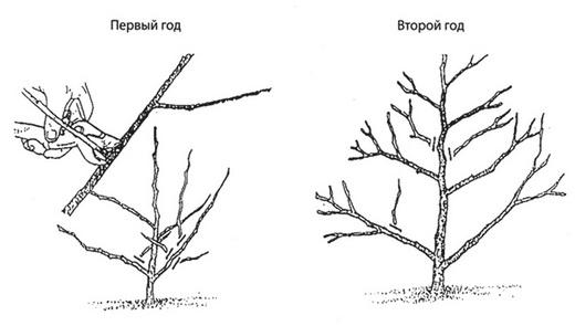 Обрезка черешковой гортензии