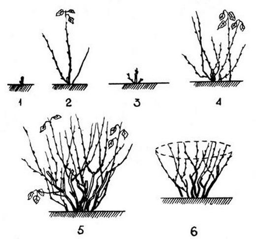 Схема обрезки плодовых кустарников