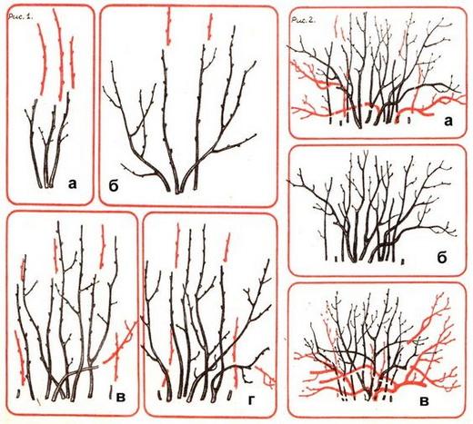 Схема обрезки кустарника черной смородины