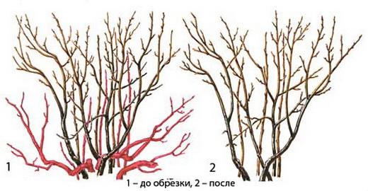 Схема обрезки красной смородины
