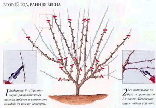 Схема обрезки кустарника крыжовника