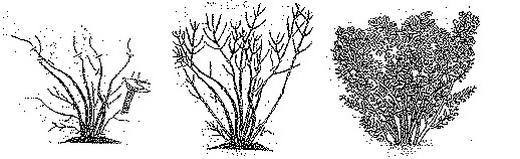 Схема обрезки красивоцветущих кустарников