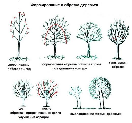Схемы обрезки плодовых деревьев