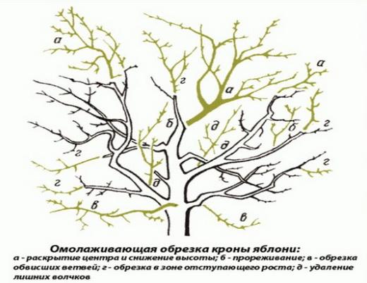 Омолаживающая обрезка кроны плодового дерева