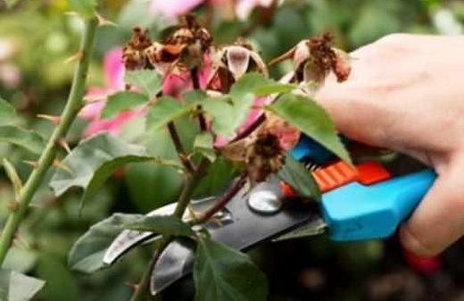 Основы обрезки роз осенью