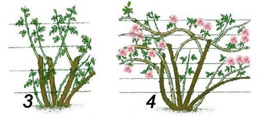 Обрезка для прореживания куста роз