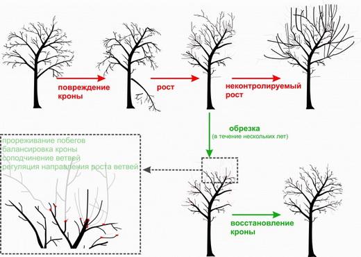 Восстановление формы дерева обрезкой