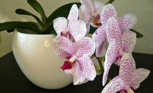 Цветущая орхидея фаленопсис
