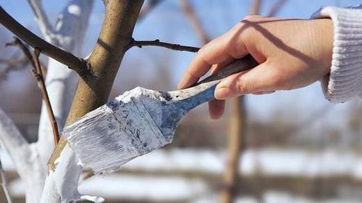 Побелка ствола для обработки весной