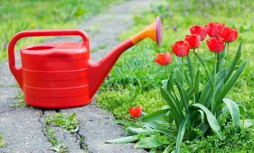 Листовая подкормка тюльпанов