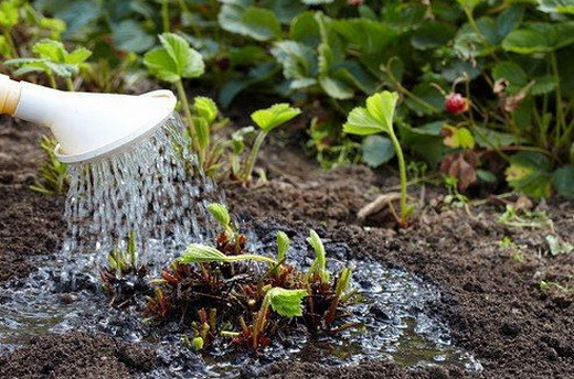 Раствор йода для полива клубники