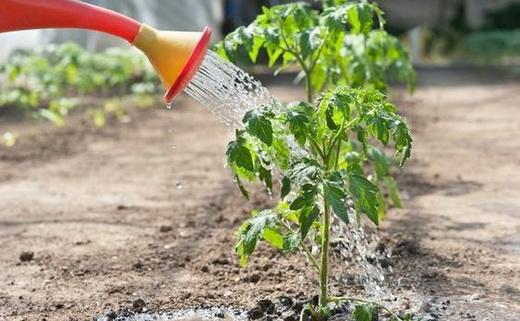 Капельный полив помидоров водой