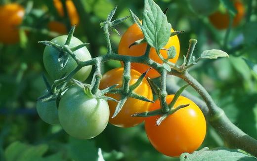 Спелые помидоры в теплице