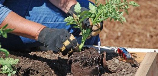 Высадка ростков помидоров в грунт