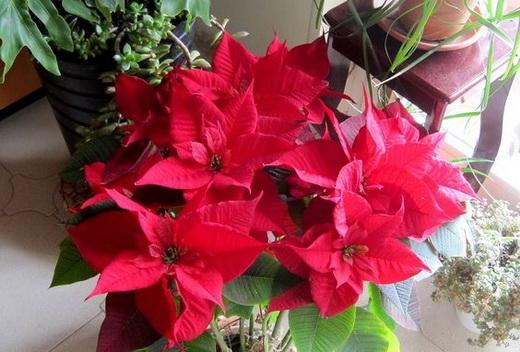 Пуансеттия (Рождественская звезда) - посадка и уход в домашних условиях, размножение, фото Как ухаживать за Пуансеттией зимой и