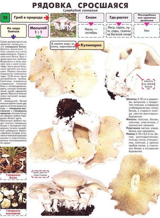 Характеристика гриба Рядовка фиолетовая