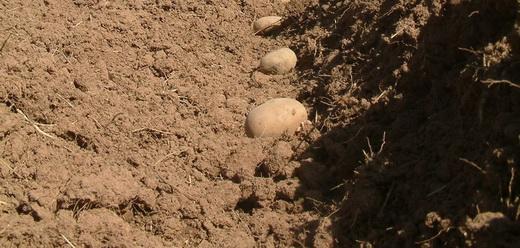 Ряды для посадки картошки