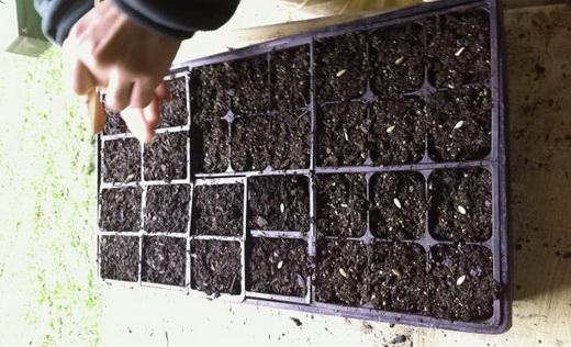 Садим семена помидор