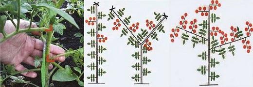 Схема пасынкования помидоров