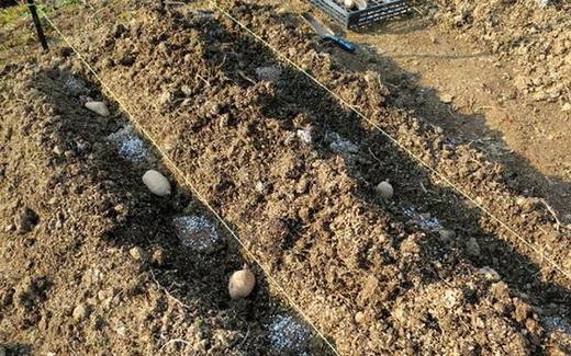 Удобрение картофеля при посадке