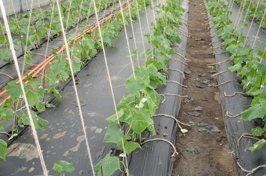 Удобрение огурцов куриным пометом