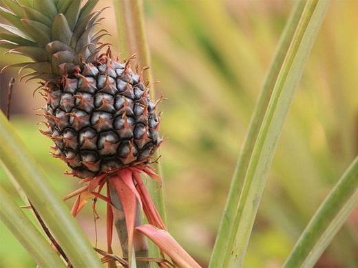 Сорт ананаса Крупнохохолковый